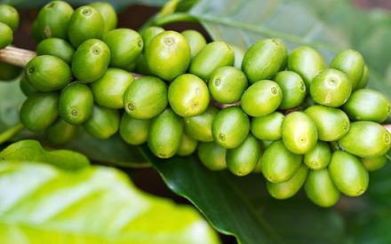 Фото зеленый кофе