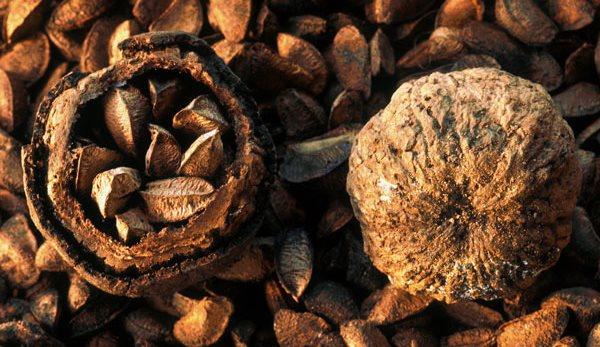 Фото как растет бразильский орех