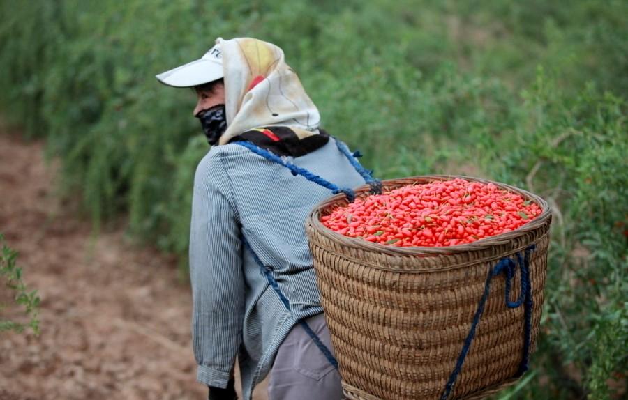 Фото как собирают ягоды годжи для похудения