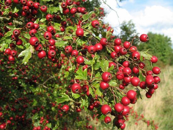 Фото - Увеличение потенции народными средствами: плоды боярышника