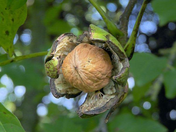 Фото - Грецкий орех и его влияние на потенцию