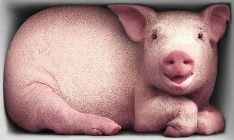 Картинка смешная свинья