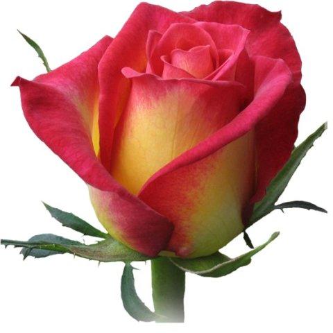 Фото - Чайно-гибридные розы