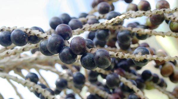 Фото ягод асаи