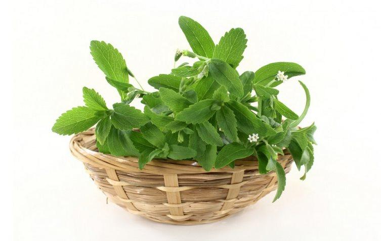 Фото травы стевии для похудения с отзывами худеющиъ