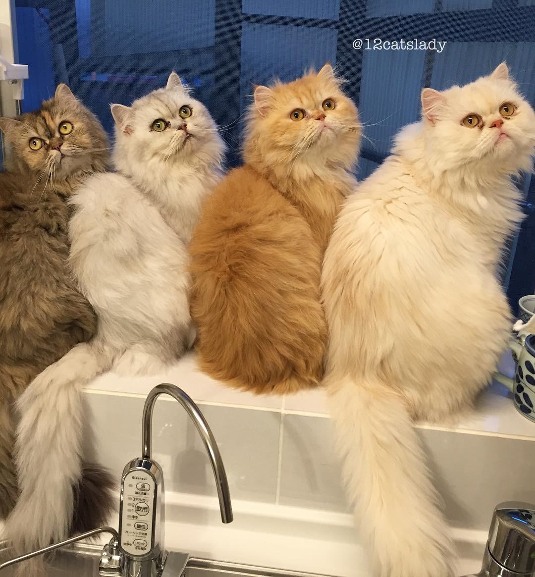 Сколько лет живут персидские кошки в домашних условиях: факты 25